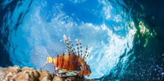 Lion fish underwater shot against blue sky background