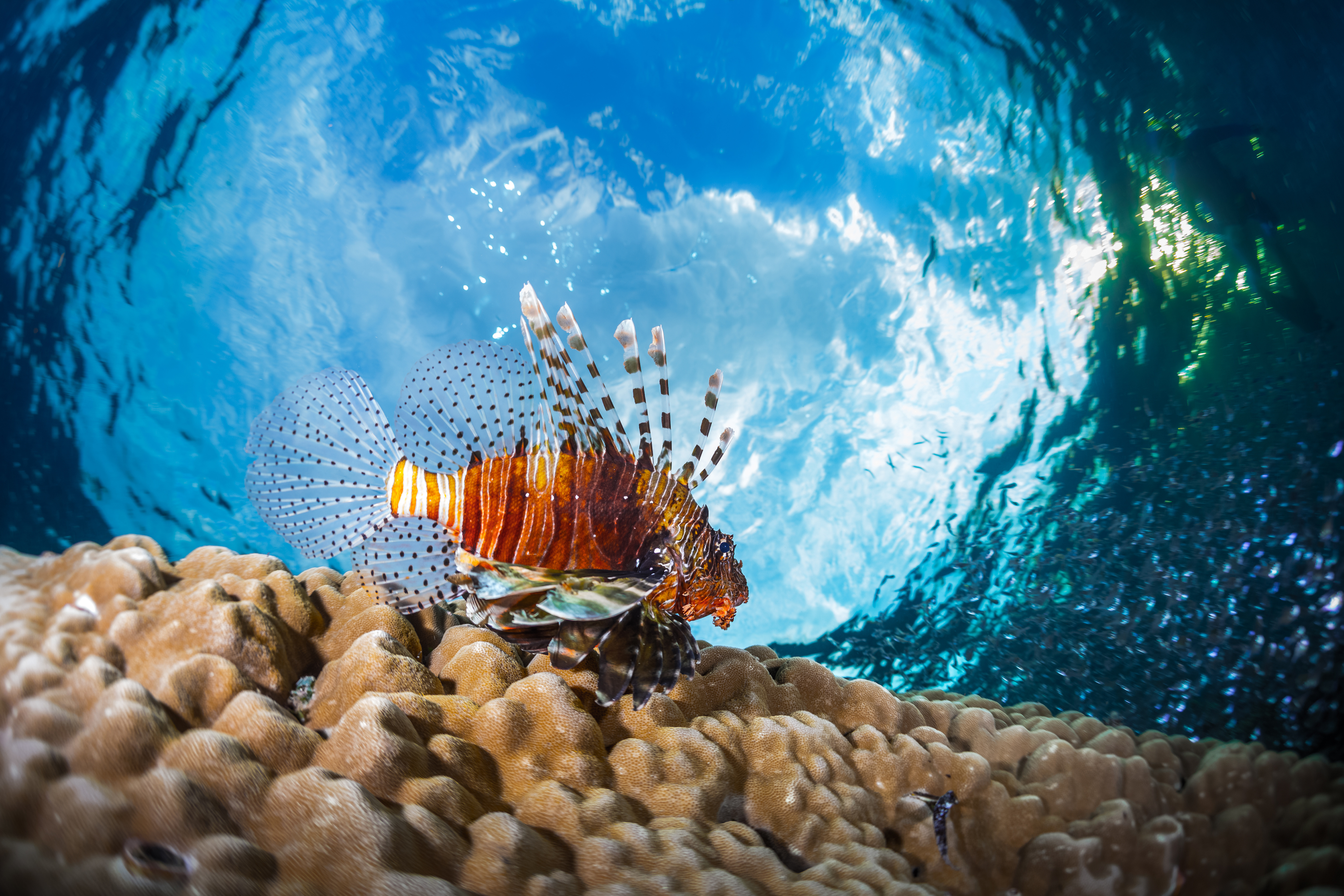 Lion fish underwater shot against blue sky background