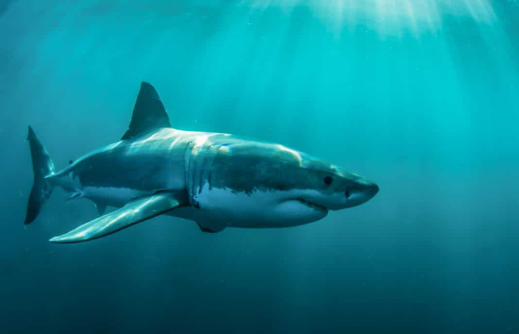 Great white shark underwater, Gansbaai, Western Cape, south Africa