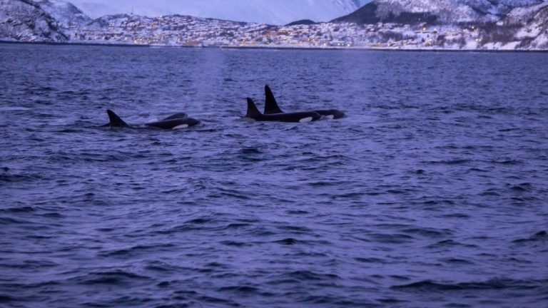 Video: The POD – Diving With Orcas In Norway