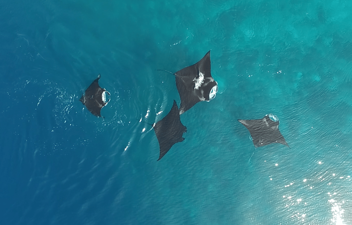 New Study Finds That Manta Rays Form Social Bonds With Each Other (Photo credit: Rob Perryman)