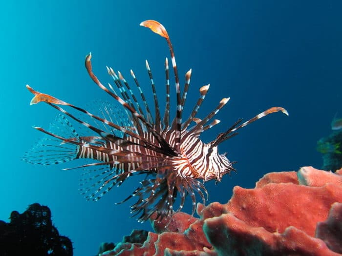 The extremely venomous lionfish.