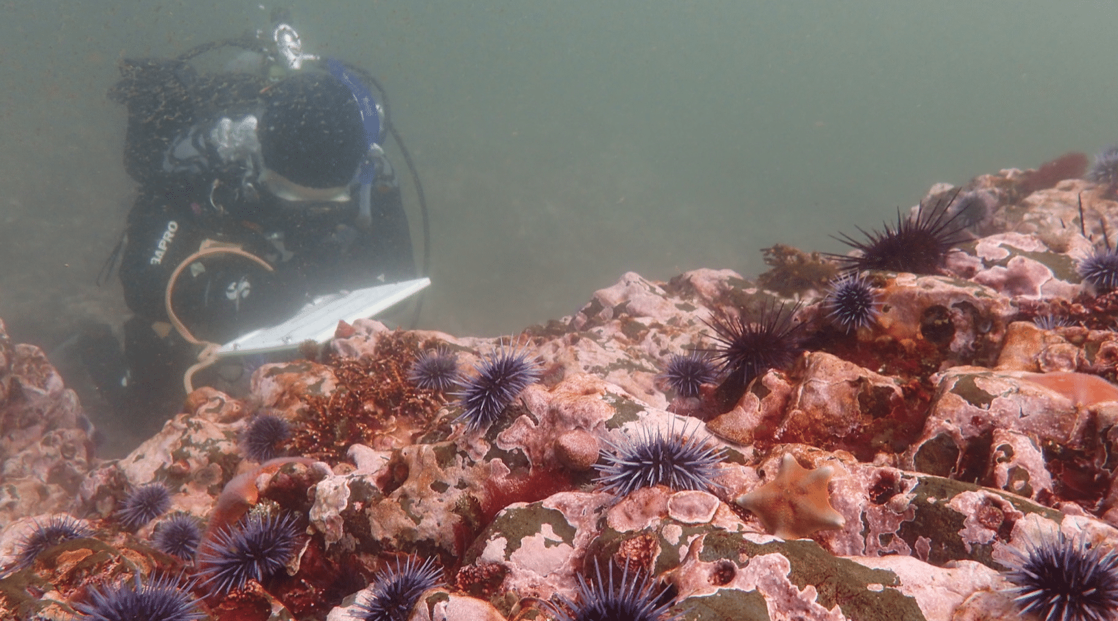 A scientific diver observes purple sea urchin barrens in California. (Cynthia Catton/California Department of Fish and Wildlife)