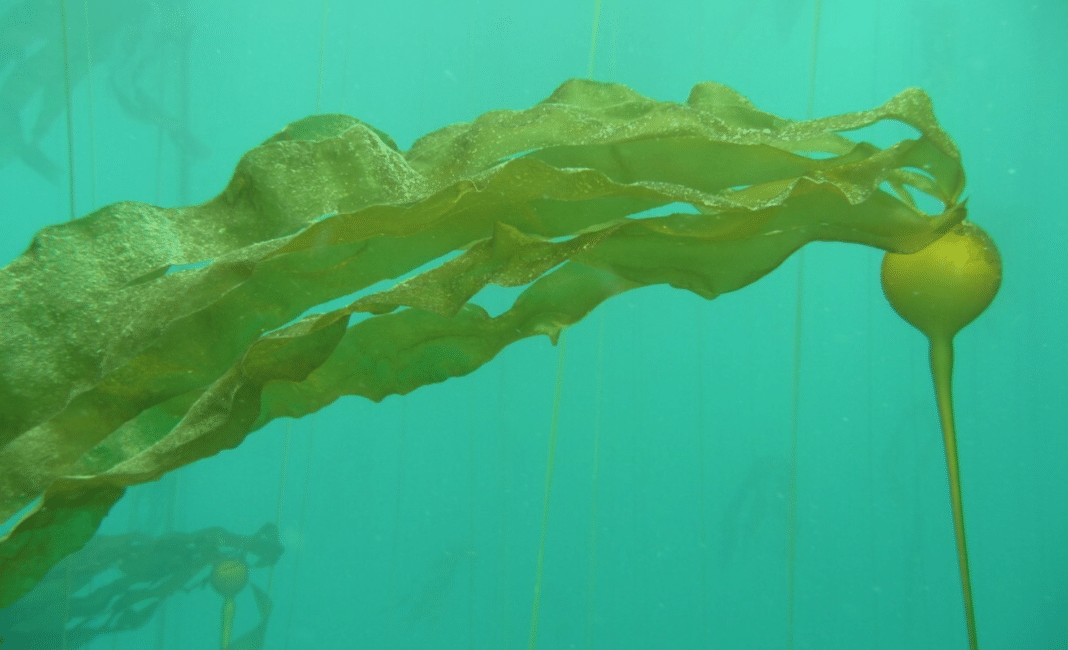 Could 'Urchin Ranching' Help Restore Northern California's Undersea Kelp Forests?