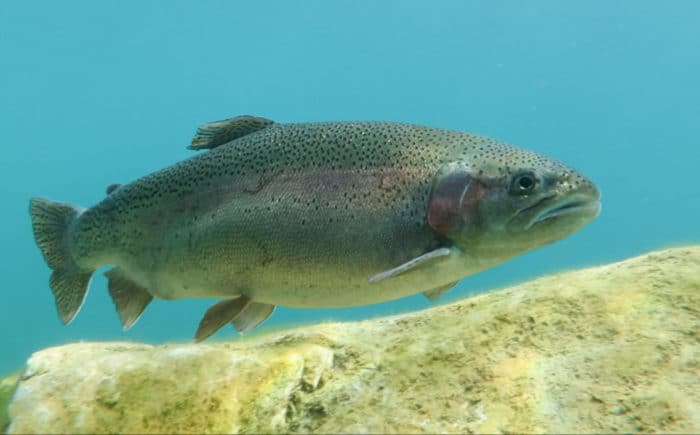 Capernwray Diving Centre - Trout