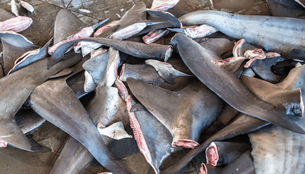 Shark Fins (Adobe Stock)