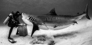 Neal Watson's Bimini Scuba Center Offering Daily Tiger Shark Dives