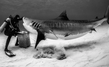 Neal Watson's Bimini Scuba Center Offering Daily Tiger Shark Dives
