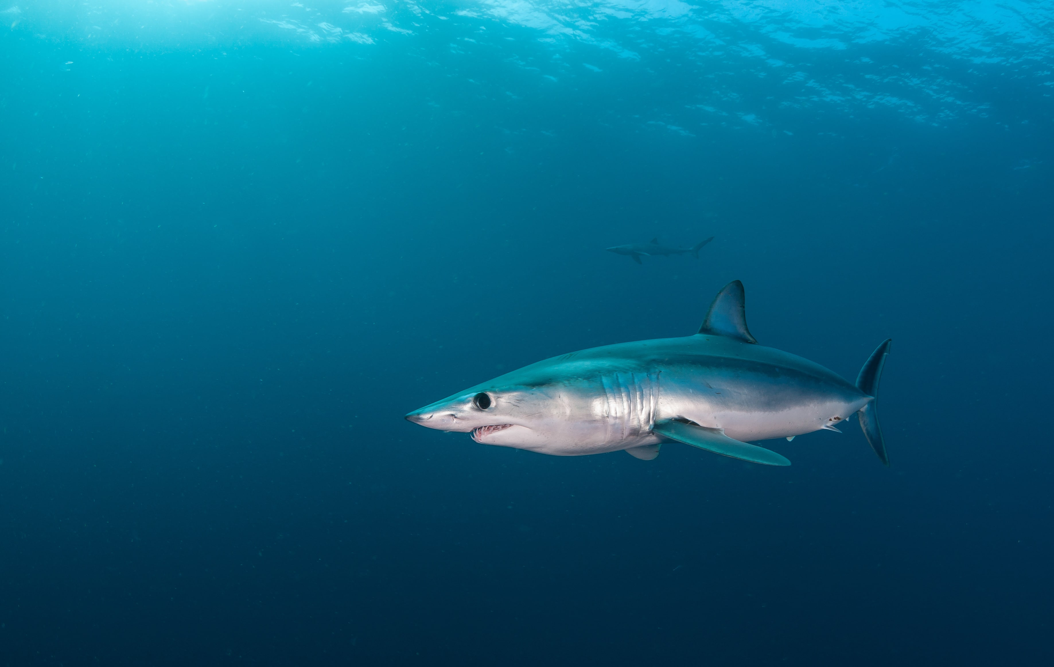 Short fin mako shark underwater view offshore from Cape Town, South Africa. (Adobe Stock)