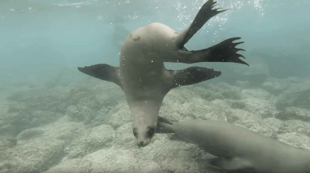 Galápagos Sea Lions swimming