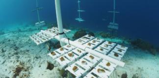 Bonaire Growing Boulder Corals