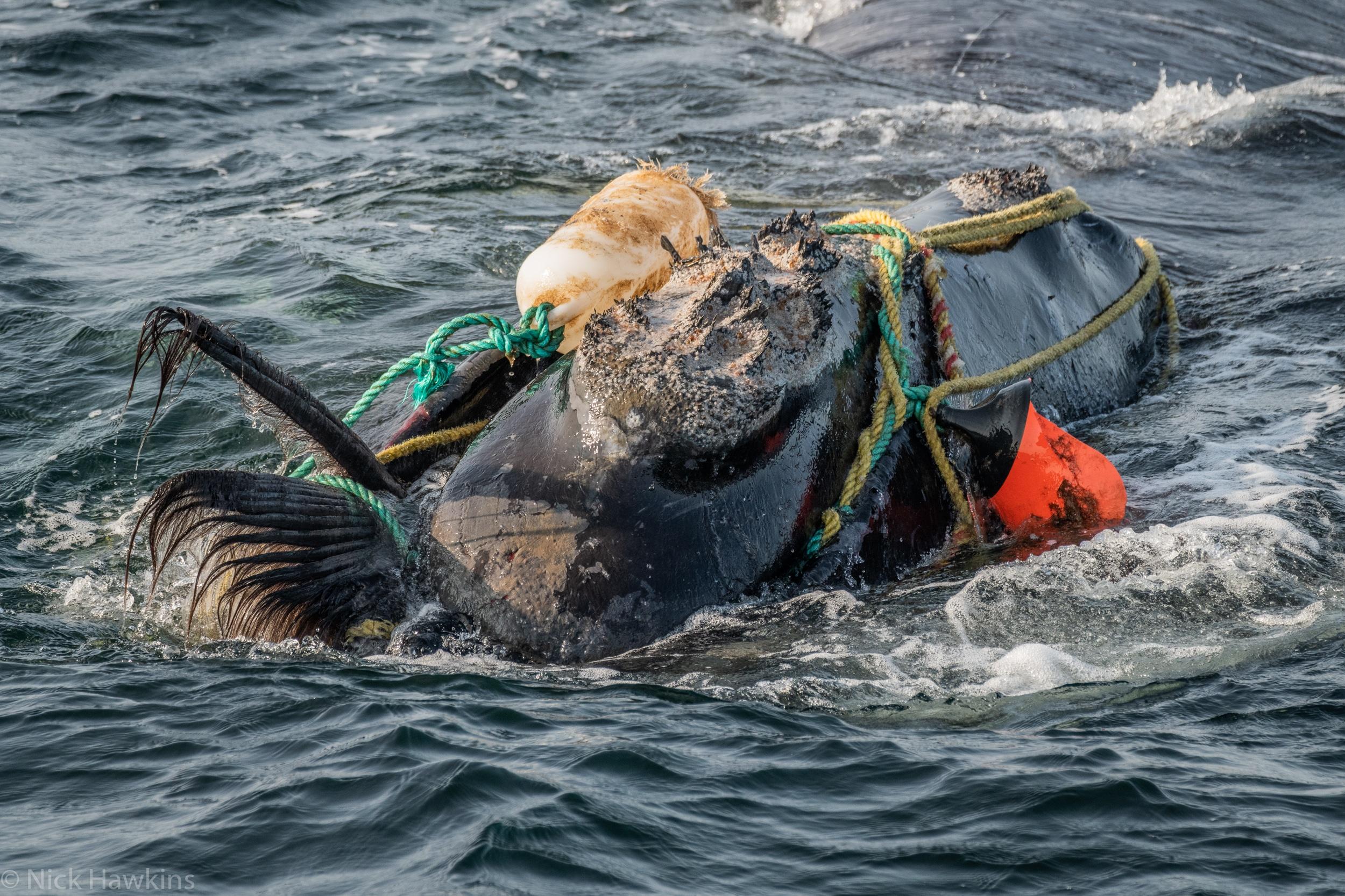 Entangled Whale (Image credit: Nick Hawkins)