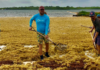 Buddy Dive Resort staffers clean beaches of Sargassum.