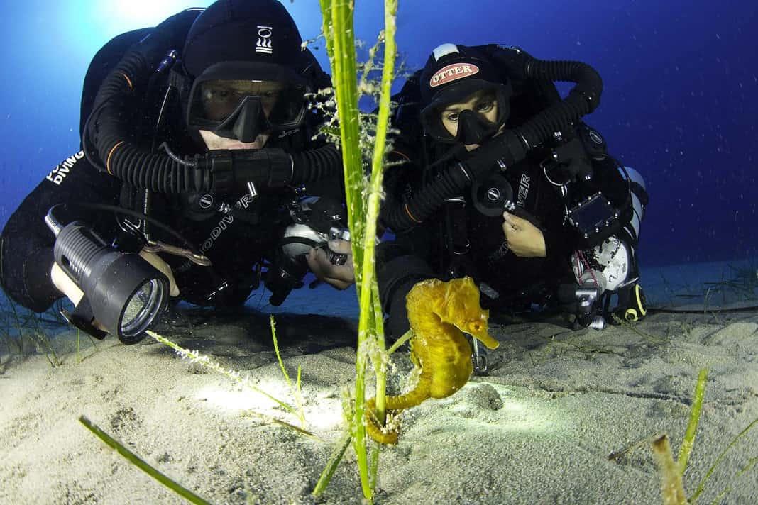 Scuba divers and short-snouted seahorse, Hippocampus hippocampus, male, Ponza Island, Italy, Tyrrhenian Sea, Mediterranean Sea.