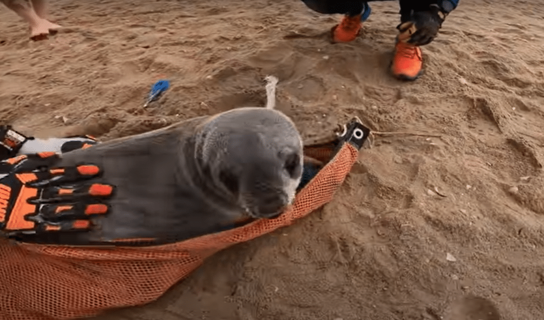 Baby seal squeals with pleasure at his rescue