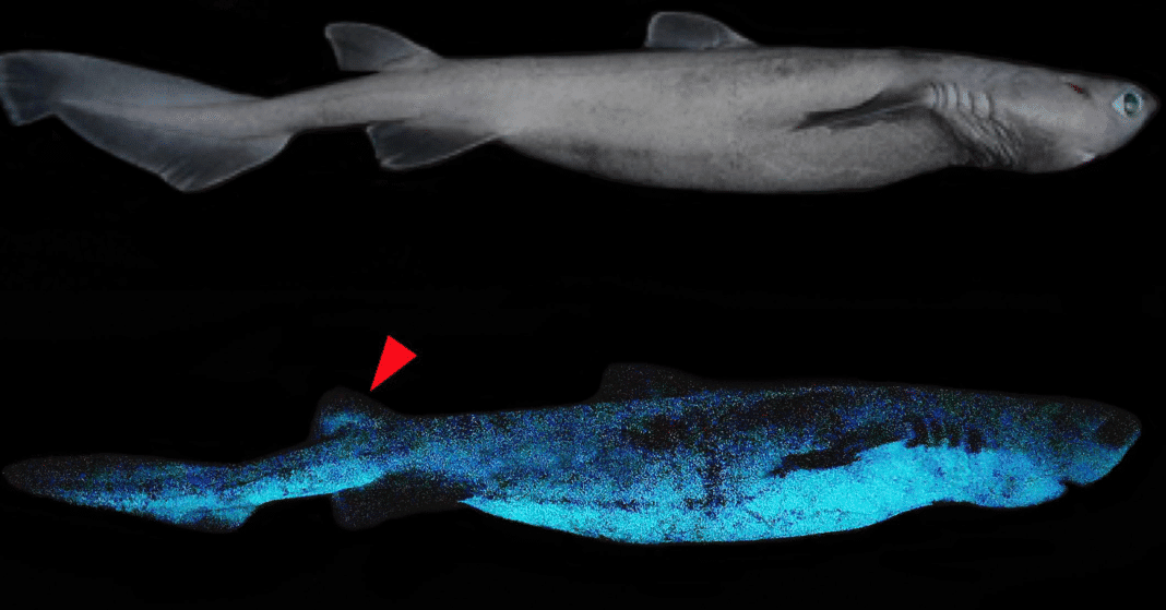 Bioluminscent Shark (Image credit: Frontiers in Marine Science)