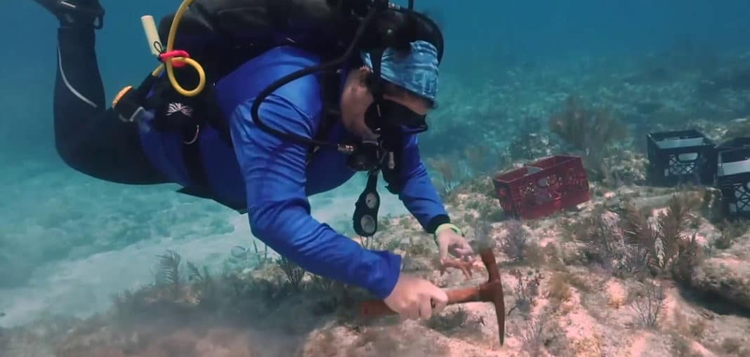 Diver transplants nursery-grown staghorn coral to reef in the Florida Keys National Marine Sanctuary (Image credit: Coral Restoration Foundation)
