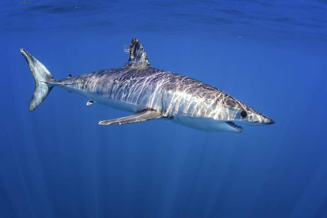 Shortfin Mako Shark (Adobe Stock)