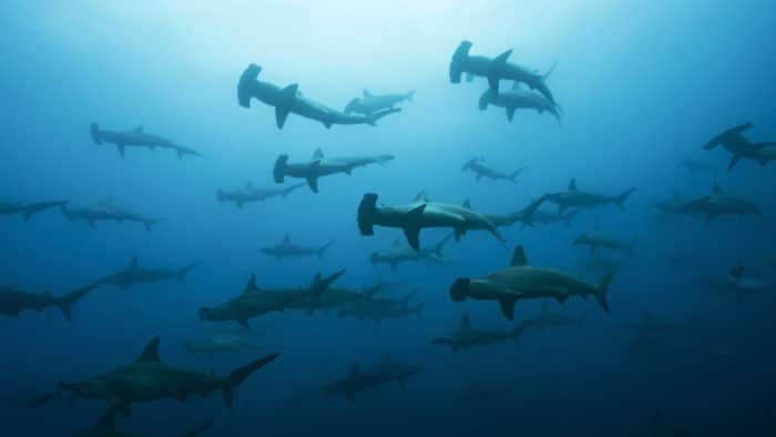 Very large school of scalloped hammerhead sharks in Galapagos, world heritage site of Ecuadorian Pacific