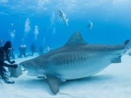 Bahamas Master Liveaboard Tiger Shark (Image credit: Matthew Meier)