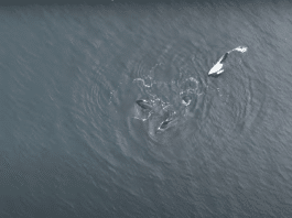 Complex social lives of orcas revealed by drone observation