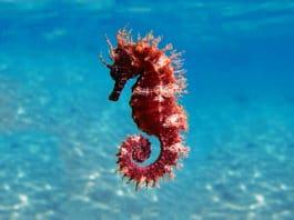 Mediterranean Seahorse - Hippocampus guttulatus (Adobe Stock)